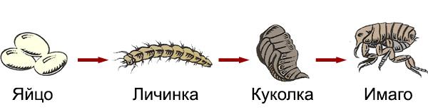 Жизненный цикл блохи
